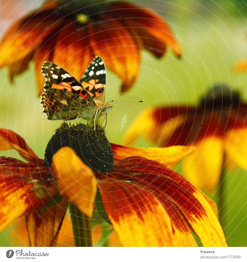 Schmetterling Natur Blume grün rot Sommer Tier gelb Blüte Blühend Schönes Wetter
