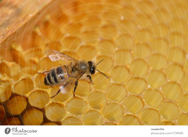 fleissiger Hausbauer eine Buckfast-Honigbiene auf einer Wabe Natur Tier Umwelt gelb klein braun Arbeit & Erwerbstätigkeit laufen Flügel süß Sauberkeit nah