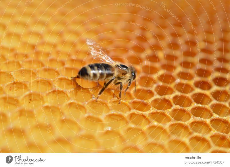 fleissiger Hausbauer Tier Nutztier Insekt Biene Honig Honigbiene Wabe Bienenwaben Arbeit & Erwerbstätigkeit bauen laufen klein braun gelb Leidenschaft