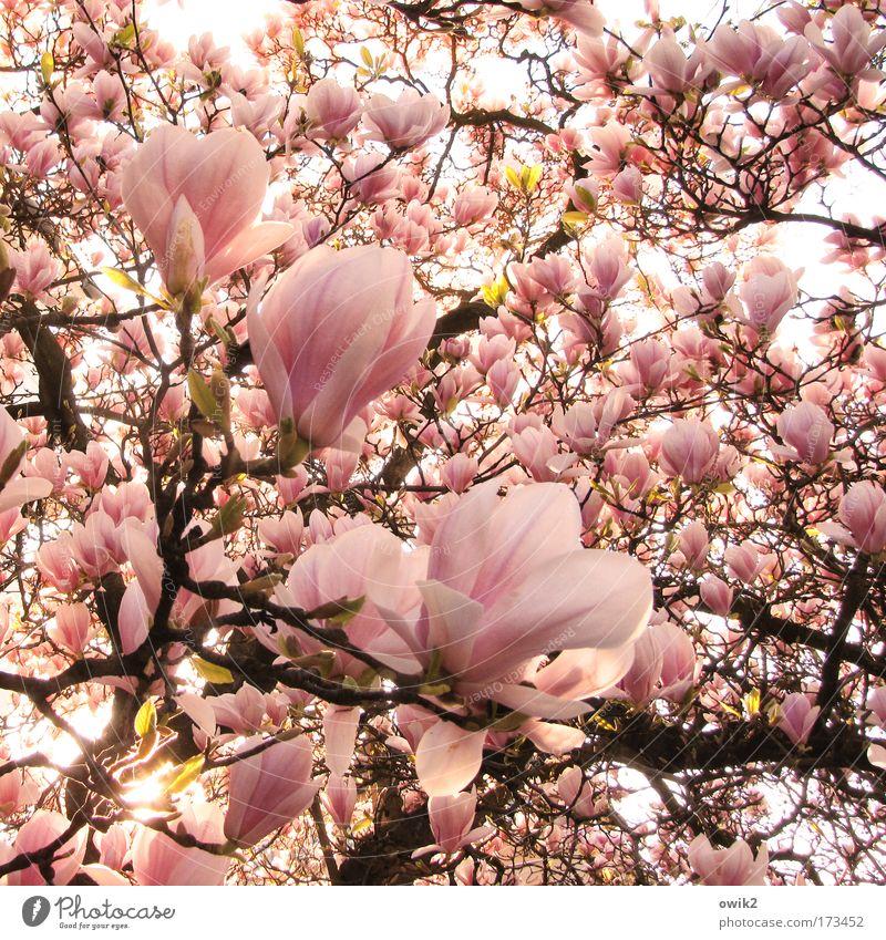 Brüder, zur Sonne Farbfoto Außenaufnahme Detailaufnahme Menschenleer Morgen Sonnenlicht Umwelt Natur Pflanze Baum Blüte exotisch Magnolienbaum Magnoliengewächse
