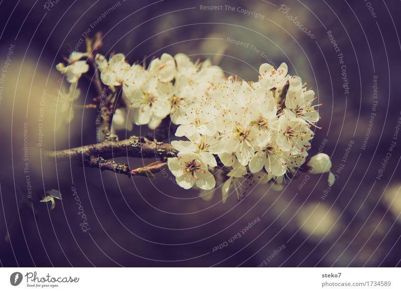 Überfluss Frühling Blüte Kirschbaum Blühend leuchten Wachstum Frühlingsgefühle Beginn Wildkirsche Gedeckte Farben Außenaufnahme Textfreiraum unten