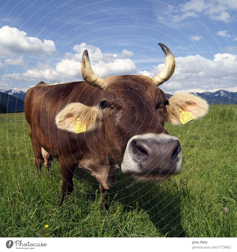 Die Kuh Farbfoto mehrfarbig Außenaufnahme Tag Starke Tiefenschärfe Totale Weitwinkel Blick Berge u. Gebirge Alm Tier Nutztier 1 Freude Langeweile skurril