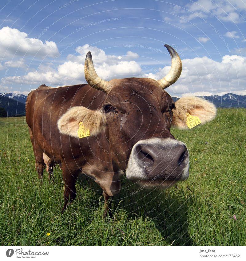 Die Kuh Freude Tier Berge u. Gebirge Rind Kuh Langeweile skurril Alm Nutztier
