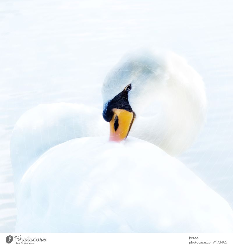 Gesine 400 weiß schön ruhig Tier hell Zufriedenheit Feder außergewöhnlich beobachten Schnabel Stolz Schwan Vogel strahlend Perspektive