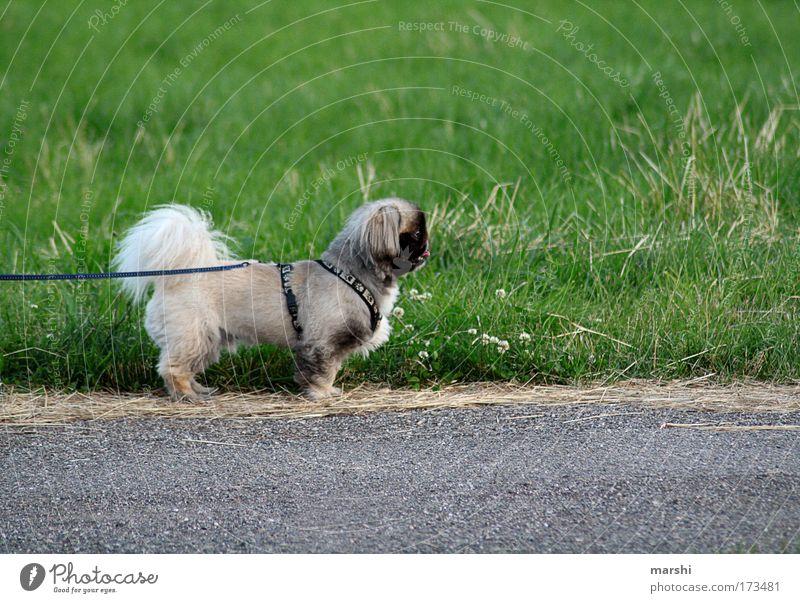 -NESE Farbfoto Außenaufnahme Umwelt Natur Garten Park Wiese Straße Tier Haustier 1 außergewöhnlich klein braun grün Hund Fluß Leine Seite Gras Gassi gehen Blick