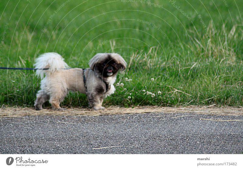 PEKI- Farbfoto Außenaufnahme Natur Garten Park Wiese Tier Haustier Hund 1 klein Hundeblick atmen Seil Gassi gehen Blick Blick nach vorn angeleint bellen