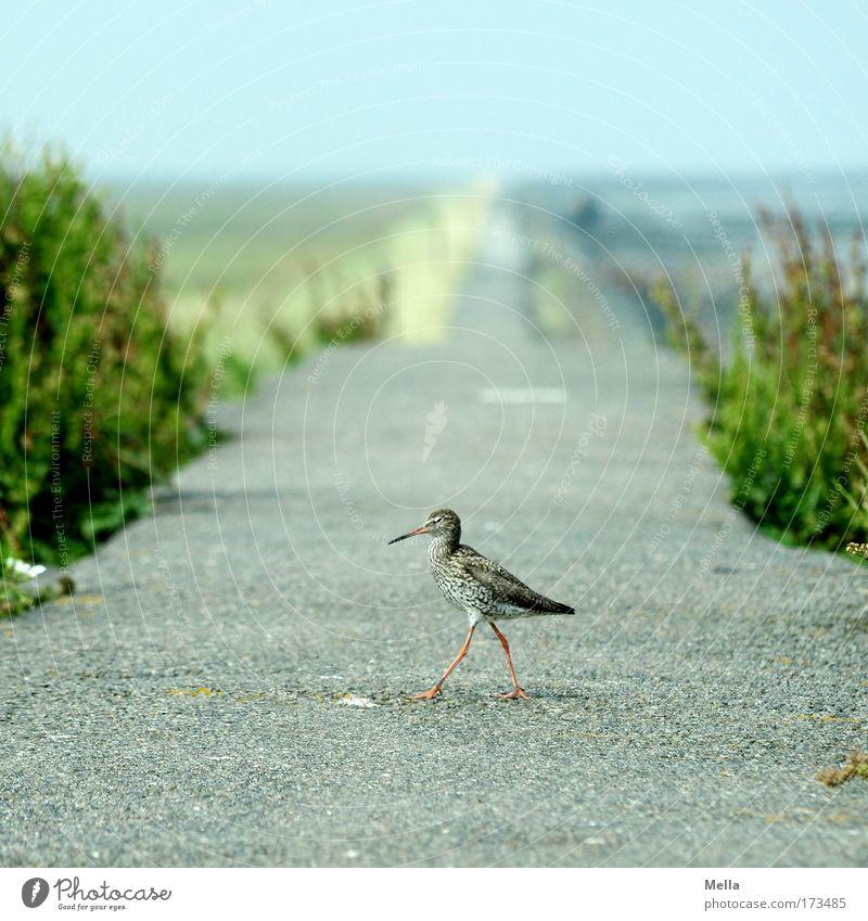 Links zwo, drei, vier Natur Sommer Tier Frühling Wege & Pfade Vogel Küste gehen Umwelt frei natürlich Wildtier Nordsee Stolz schreiten Tierjunges