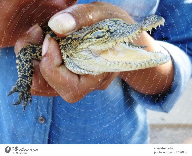 Kleines Krokodil Natur Tier Tierjunges Bauernhof Jagd Reptil Kambodscha