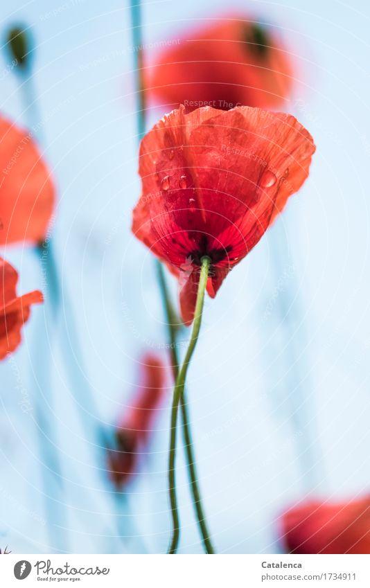Mehr Mohn Natur Pflanze Luft Wassertropfen Sommer Blume Blüte Klatschmohn Garten Wiese Blühend leuchten schön nass blau grün orange rot unbeständig Leichtigkeit