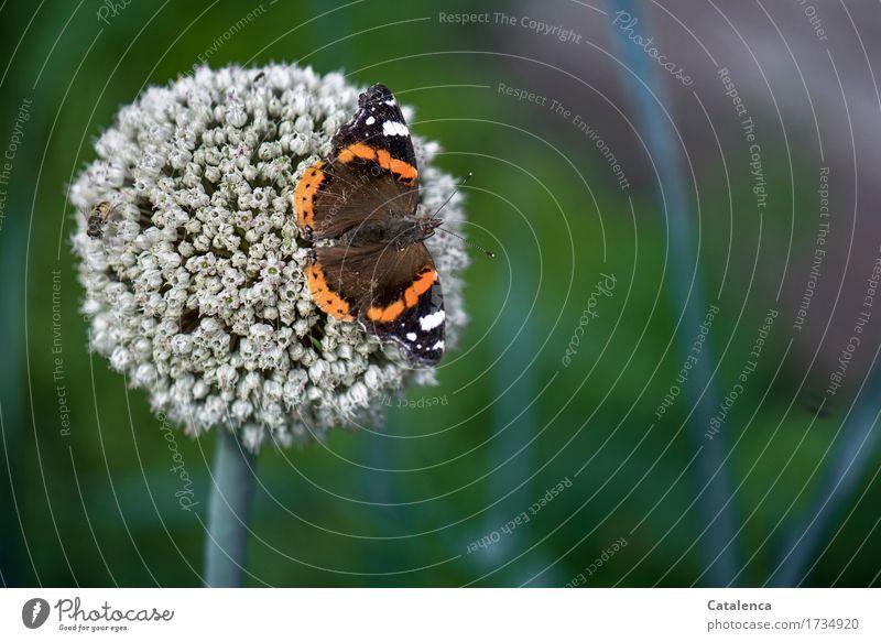 Admiral Senior Natur alt Pflanze Sommer grün weiß Tier Blüte Garten fliegen braun orange Blühend Lebensfreude Vergänglichkeit Wandel & Veränderung