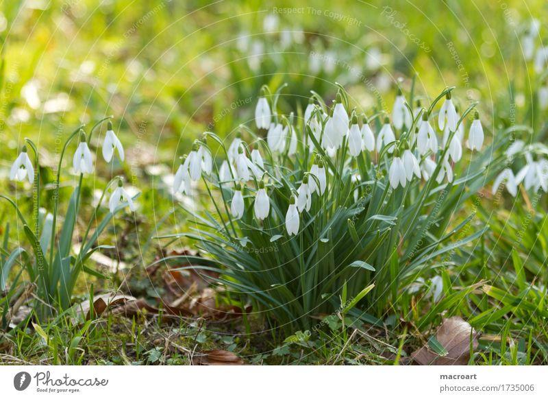 Schneeglöckchen Galanthus nivalis schneeglöckchen blume frühblüher blätter weiß pflanzen winter frühling blüten blühend grün gras wiese