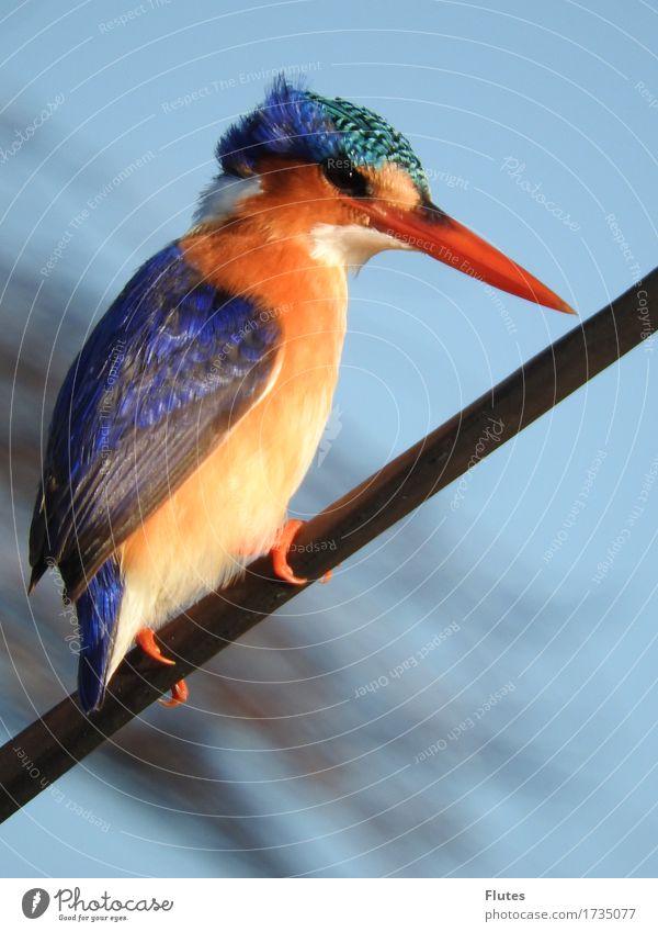Eisvogel Tier Wildtier Vogel 1 blau orange Botswana Eisvögel Okavango Farbfoto Außenaufnahme Tag Ganzkörperaufnahme Profil