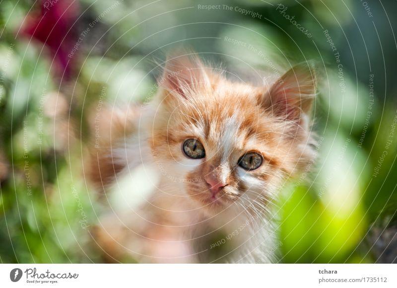 Kleine weiße Katze schön Sommer Baby Natur Tier Pelzmantel Haustier Hund Pfote klein niedlich grün Katzenbaby jung Hintergrund Maine Waschbär Ingwer reizvoll