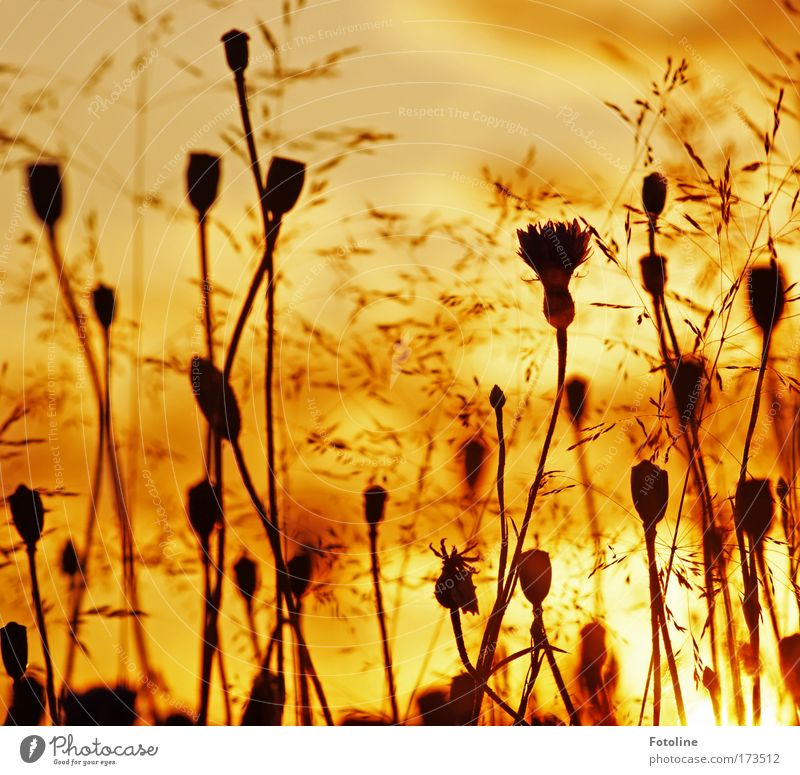 sommerwiese IV Farbfoto mehrfarbig Außenaufnahme Tag Abend Licht Sonnenlicht Sonnenstrahlen Sonnenaufgang Sonnenuntergang Umwelt Natur Landschaft Pflanze Himmel