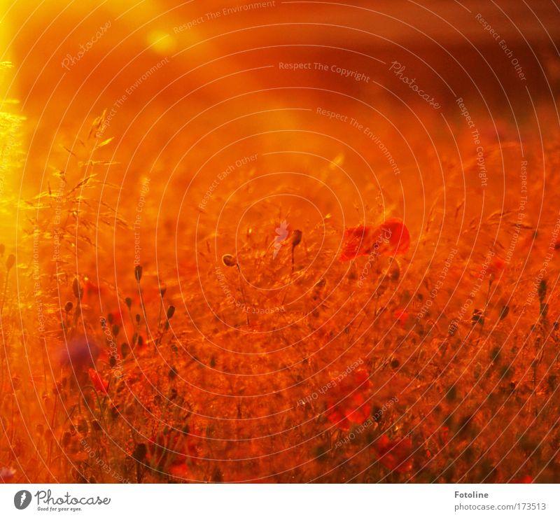 Sommerwiese V Natur Pflanze Sommer schwarz gelb Wiese Blüte Gras Park Wärme Landschaft hell braun Wetter Umwelt gold