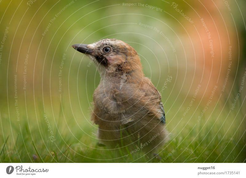 junger Eichelhäher Tier Sommer Herbst Schönes Wetter Gras Garten Park Wiese Wald Wildtier Vogel Tiergesicht Flügel 1 Tierjunges Fressen genießen hocken sitzen