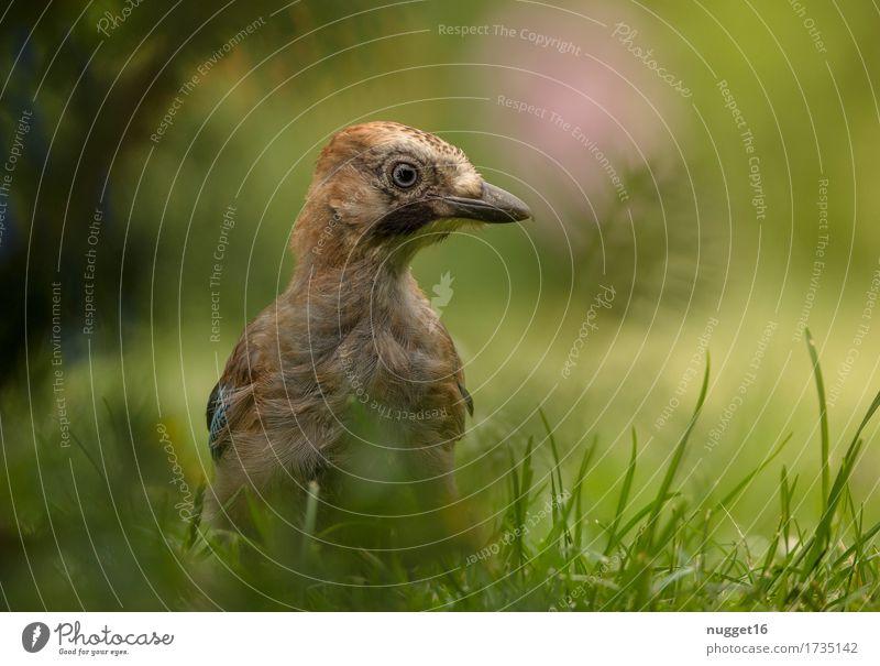 junger Eichelhäher Natur blau Sommer grün Tier Wald Tierjunges Umwelt gelb Wiese Gras braun Vogel rosa Zufriedenheit Wildtier