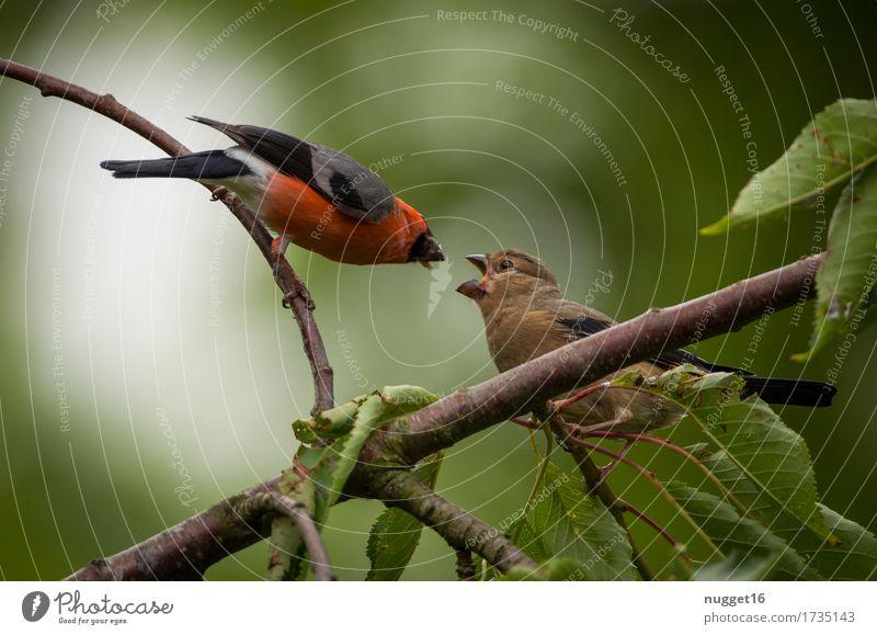 Hunger!!! Umwelt Natur Tier Sommer Herbst Baum Garten Park Wald Wildtier Vogel Flügel Gimpel 2 Tierjunges Tierfamilie Fressen füttern schreien sitzen ästhetisch