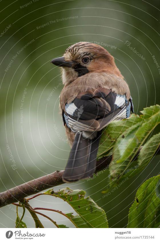 immer diese Paparazzi! Umwelt Natur Tier Frühling Sommer Herbst Baum Garten Park Wald Wildtier Vogel Flügel Eichelhäher 1 beobachten authentisch Freundlichkeit