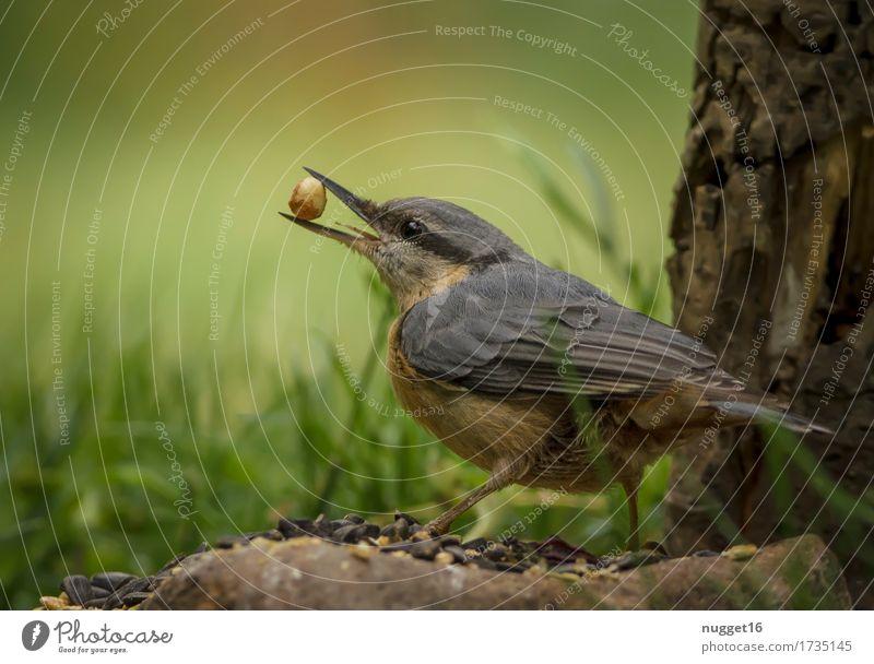 Kleiber Tier Wildtier Vogel Flügel 1 fliegen Fressen füttern authentisch frech nah natürlich Neugier niedlich blau braun grün orange Wachsamkeit Farbfoto