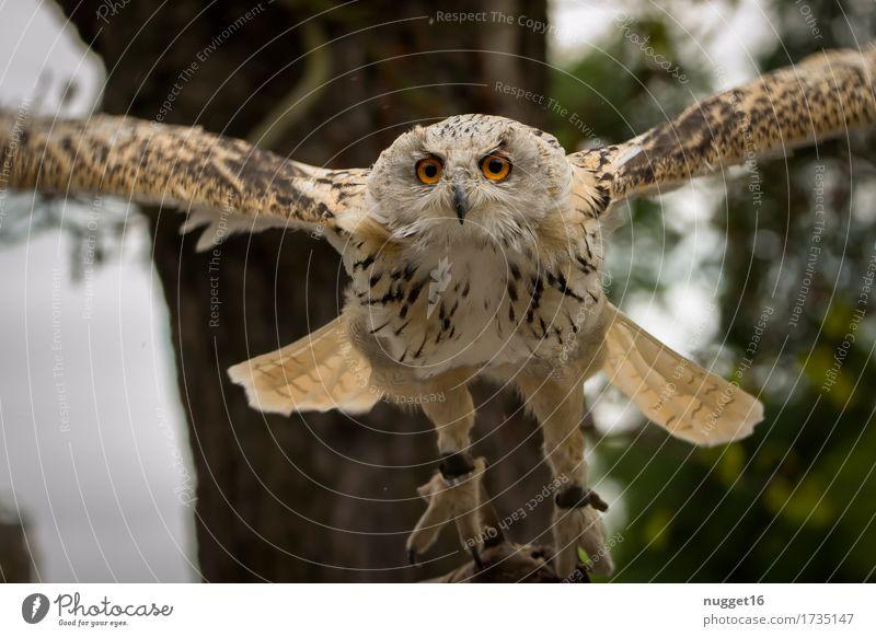 Uhu im Anflug Tier Wildtier Vogel Tiergesicht Flügel 1 beobachten Bewegung fliegen Jagd ästhetisch außergewöhnlich gigantisch nah Geschwindigkeit wild braun