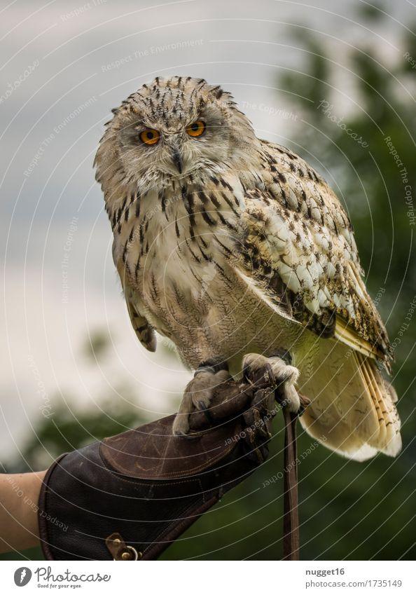 Uhu Himmel Natur grün weiß Tier natürlich außergewöhnlich fliegen braun Vogel orange Zufriedenheit Kraft Wildtier ästhetisch Flügel