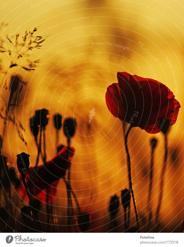 Sommerwiese VI Natur schön Himmel Blume Pflanze schwarz gelb Wiese Blüte Gras Park Wärme Landschaft Mohn hell braun