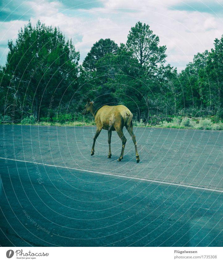 per Anhalter durch Amerika USA Arizona Grand Canyon Straße unterwegs Einsamkeit einzeln trampen Reh Hirsche Elch Wildtier Baum Sträucher Teer Fahrbahn fahren