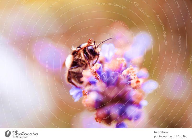 winke winke Natur Pflanze Tier Sommer Blume Blatt Blüte Lavendel Garten Park Wiese Wildtier Biene Tiergesicht Flügel 1 Blühend Duft fliegen Fressen schön klein