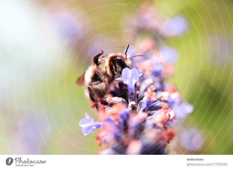 seid gegrüßt:) Natur Pflanze Tier Sommer Schönes Wetter Blume Blatt Blüte Lavendel Garten Park Wiese Wildtier Biene Tiergesicht Flügel 1 Blühend Duft fliegen