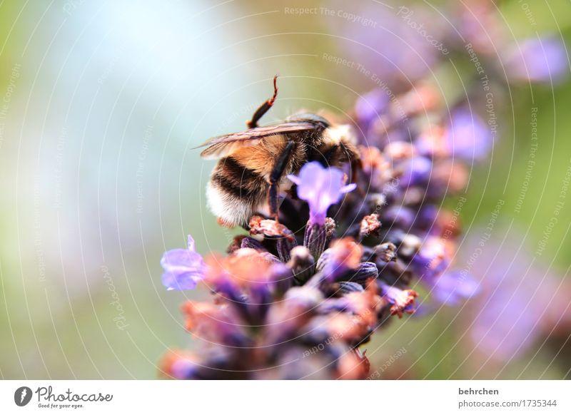 monoton | immer die gleiche arbeit Natur Pflanze Tier Sommer Schönes Wetter Blume Blatt Blüte Lavendel Garten Park Wiese Wildtier Biene Flügel 1 Blühend Duft