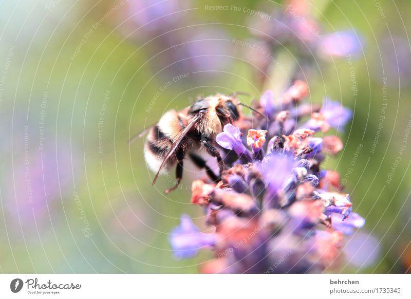 plüschtier Natur Pflanze Tier Sommer Blume Blatt Blüte Lavendel Garten Park Wiese Wildtier Biene Flügel Fell 1 Blühend Duft fliegen Fressen verblüht schön klein