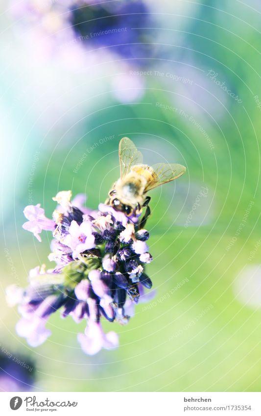 lavendelbienchen Natur Pflanze Tier Sommer Blume Blatt Blüte Lavendel Garten Park Wiese Nutztier Wildtier Biene Tiergesicht Flügel 1 Blühend Duft schön klein