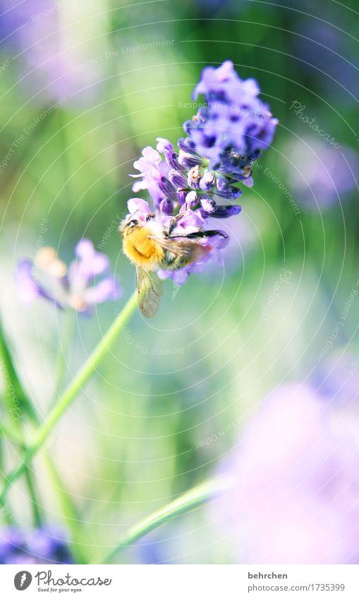 zarte versuchung Natur Pflanze Tier Sommer Schönes Wetter Blume Gras Blatt Blüte Lavendel Garten Park Wiese Wildtier Biene Tiergesicht Flügel 1 Blühend Duft