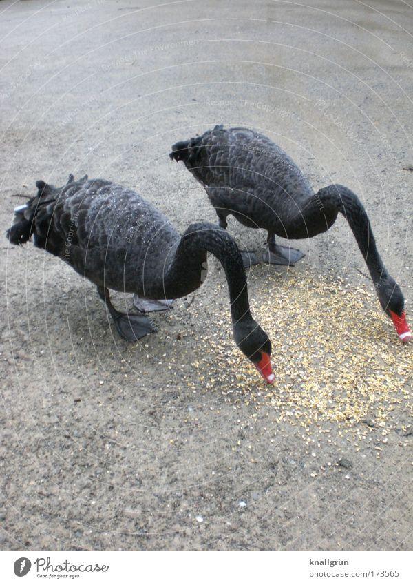 Picknick Natur rot schwarz Ernährung Tier grau Tierpaar Fressen Schwan füttern einheitlich