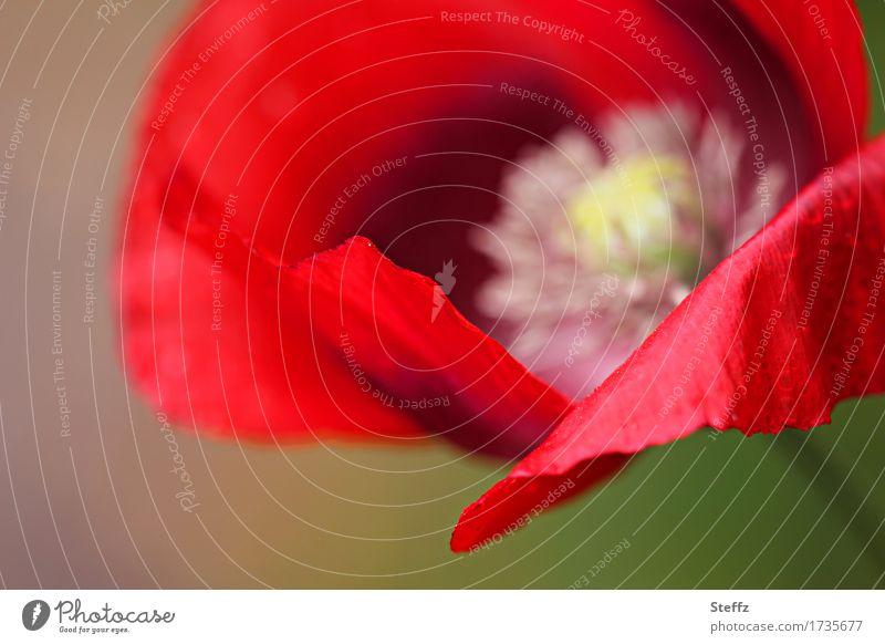 roter Mohn am Mohntag Mohnblüte blühender Mohn rote Blume rote Wildblume blühende Wildblume heimische Wildblume heimische Wildpflanze Blüte offene Blüte Juli