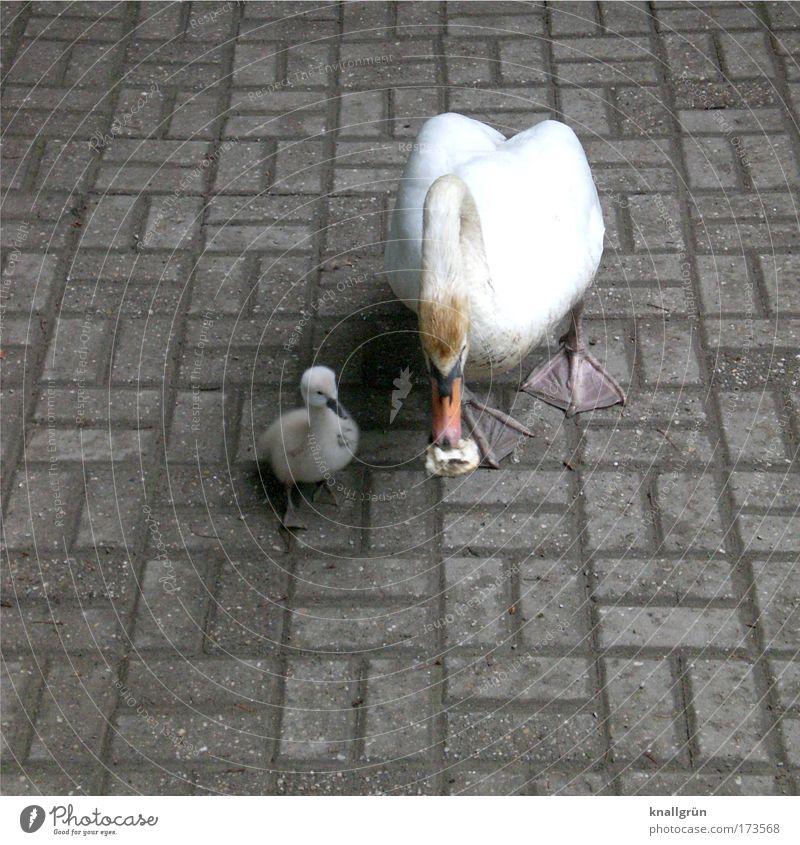 Alleinerziehend Natur weiß Ernährung Tier grau Kindererziehung Schutz Kontakt Fressen Pflastersteine Fürsorge Schwan Tierjunges Tierliebe Tierfamilie Mutterliebe