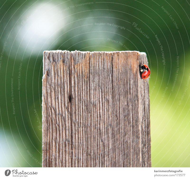 Glückskäferle Farbfoto Außenaufnahme Nahaufnahme Tag Starke Tiefenschärfe Vorderansicht Blick in die Kamera Natur Frühling Park Wiese Feld Käfer 1 Tier Holz