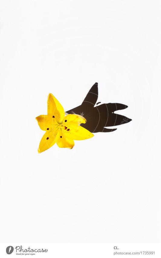 was zur verfügung stand / lilie Natur Sommer Blume Blüte Lilien Lilienblüte Blühend ästhetisch Fröhlichkeit gelb Farbfoto Innenaufnahme Studioaufnahme