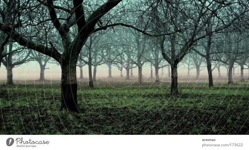 Unter Bäumen Natur blau grün Baum Pflanze ruhig Wald Landschaft Erde Nebel schlechtes Wetter Obstbaum Apfelbaum Plantage