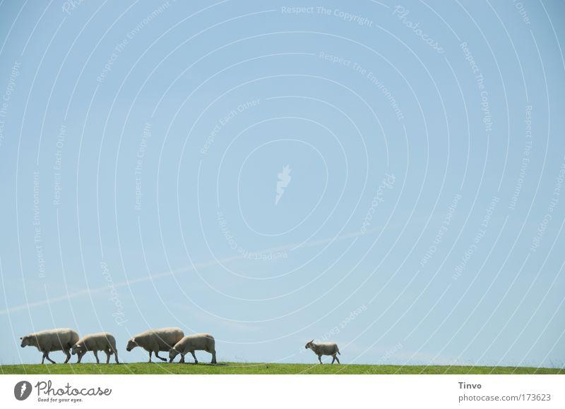 Den letzten beißen die Hunde Natur Tier Wiese Tierjunges gehen Ausflug Tiergruppe Schutz 5 Schaf Zusammenhalt Fressen Wolkenloser Himmel Wolle Deich