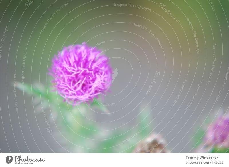 Distel mal anders Starke Tiefenschärfe Umwelt Natur Pflanze Frühling Sommer Blume Blüte Wildpflanze Wiese Blühend leuchten schön violett rosa Umweltschutz