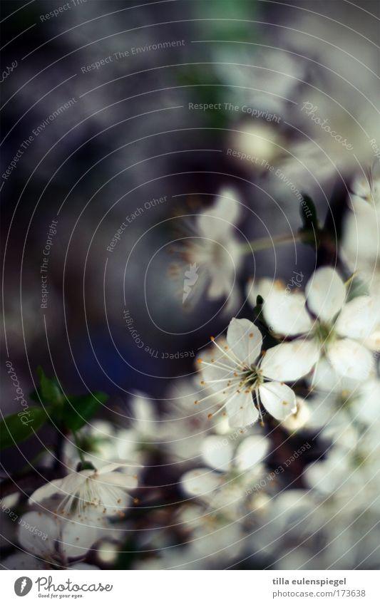 hanani Farbfoto Innenaufnahme Menschenleer Textfreiraum links Schwache Tiefenschärfe Natur Baum Blüte Kirschblüten Kirschbaum Blühend weich blau weiß