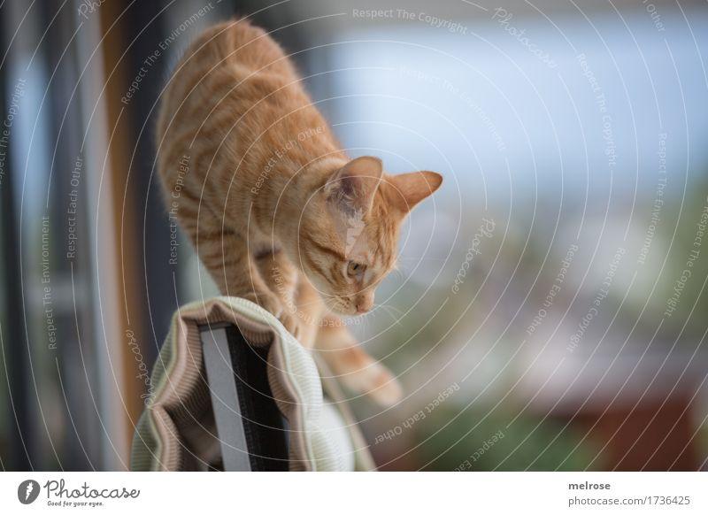Da runter ??? auf der Terrasse Tier Haustier Tiergesicht Fell Pfote Katzenohr Schwanz 1 Tierjunges abwärts Stuhllehne Polster beobachten Jagd Spielen stehen