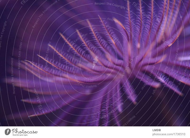 Federwurm III Tier Aquarium violett filigran fein Fächer Röhrenwurm zart Feuerwerk Unterwasseraufnahme exotisch Korallen Farbfoto Nahaufnahme Detailaufnahme