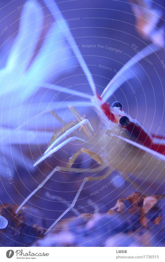 __300__ und Shrimpsi tanzt! ;) Umwelt Natur Tier Küste Riff Korallenriff Meer Aquarium 1 außergewöhnlich Freundlichkeit klein blau rot weiß exotisch Garnelen