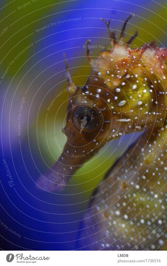 Seepferdchen, schüchtern Tier Küste Bucht Meer Wildtier Aquarium 1 blau braun grün Punkt Meerestier Unterwasseraufnahme Auge verstecken Schüchternheit