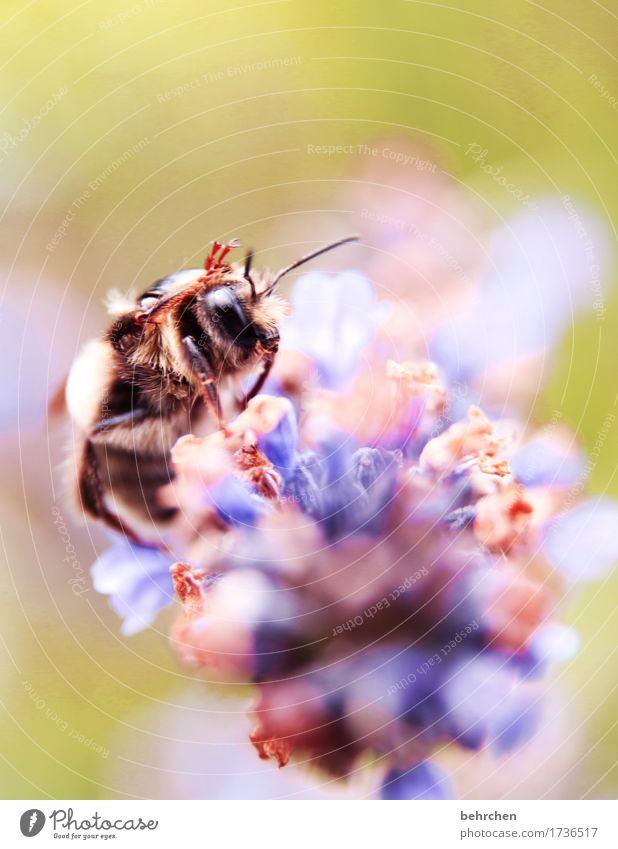 moin! Natur Pflanze Tier Sommer Blume Blatt Blüte Lavendel Garten Park Wiese Wildtier Biene Tiergesicht Fell Beine Auge Fühler Rüssel 1 fliegen Fressen schön