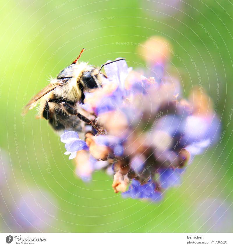 summer move Natur Pflanze Tier Sommer Blume Blatt Blüte Lavendel Garten Park Wiese Wildtier Biene Tiergesicht Flügel 1 Blühend Duft fliegen Fressen schön klein