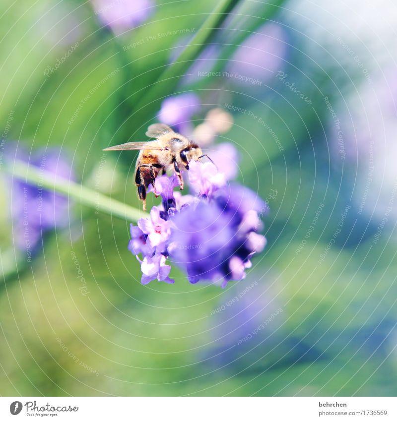 klangfarbe | ...des sommers Natur Pflanze Tier Sommer Schönes Wetter Blume Blatt Blüte Lavendel Garten Park Wiese Wildtier Biene Tiergesicht Flügel 1 Blühend